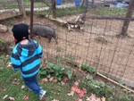 Our trip to the corn maze this year.  Kids LOVED the pigs.